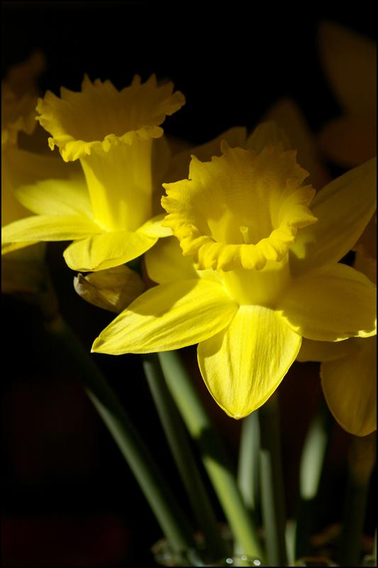 Daffodil Days - Art by K