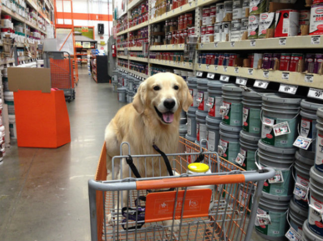 Golden Retriever riding in a shopping cart at Home Depot. - Image via Flickr - dog friendly stores