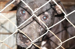 One of 69 pitbulls rescued from fighting