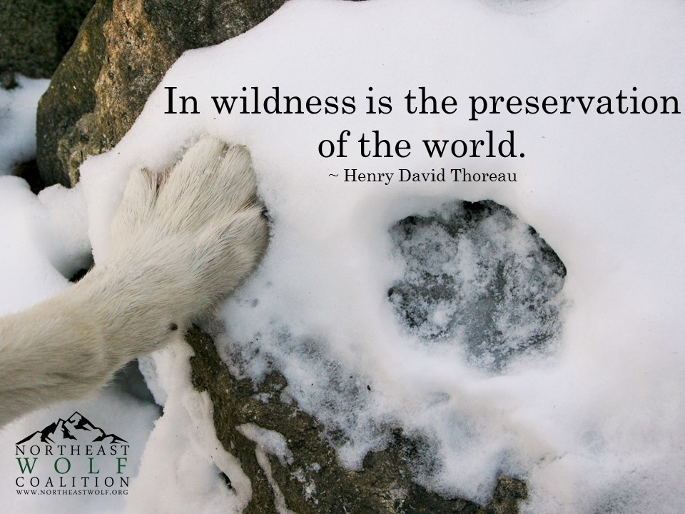 """In Wildness is the preservation of the World."" - Henry David Thoreau - Northeast Wolf Coalition"