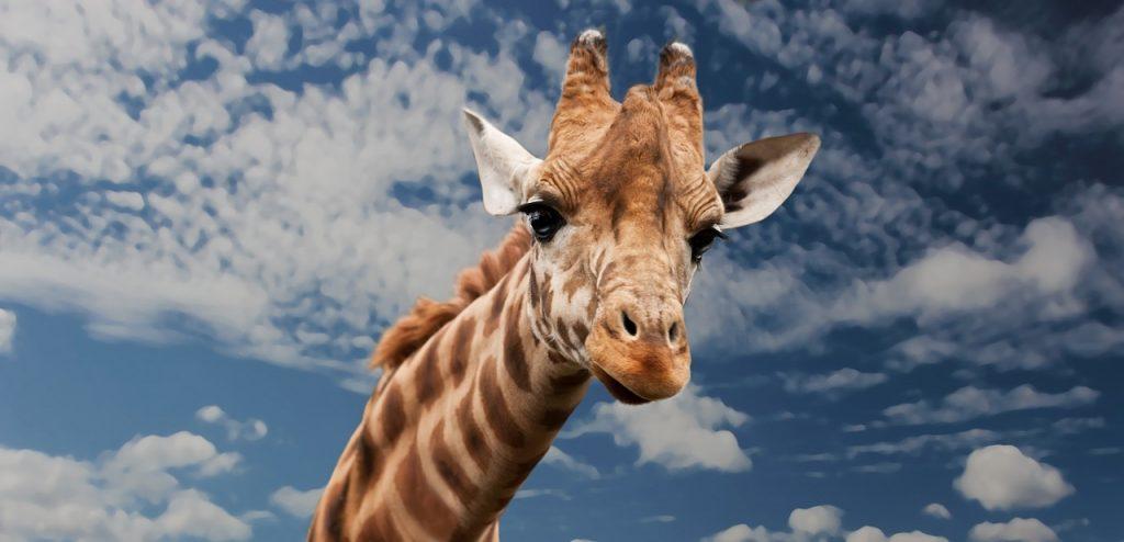 pixabay.com, Giraffe