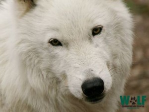 Atka, Arctic Wolf, Wolf Ambassador NY Wolf Conservation Center, The Trailokya Trilogy