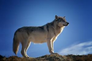 pixabay.com Wolf, Trailokya Trilogy