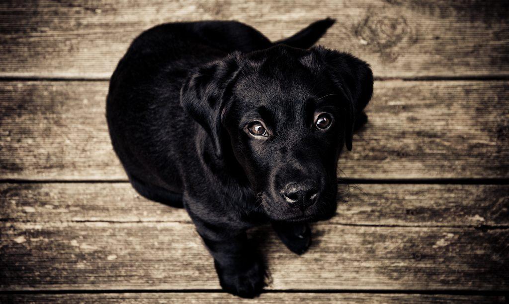 black lab puppy, unsplash.com, Getting A New Dog