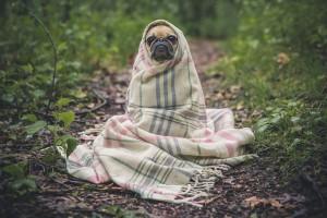 pug-801826_1280, pixabay.com Getting A New Dog