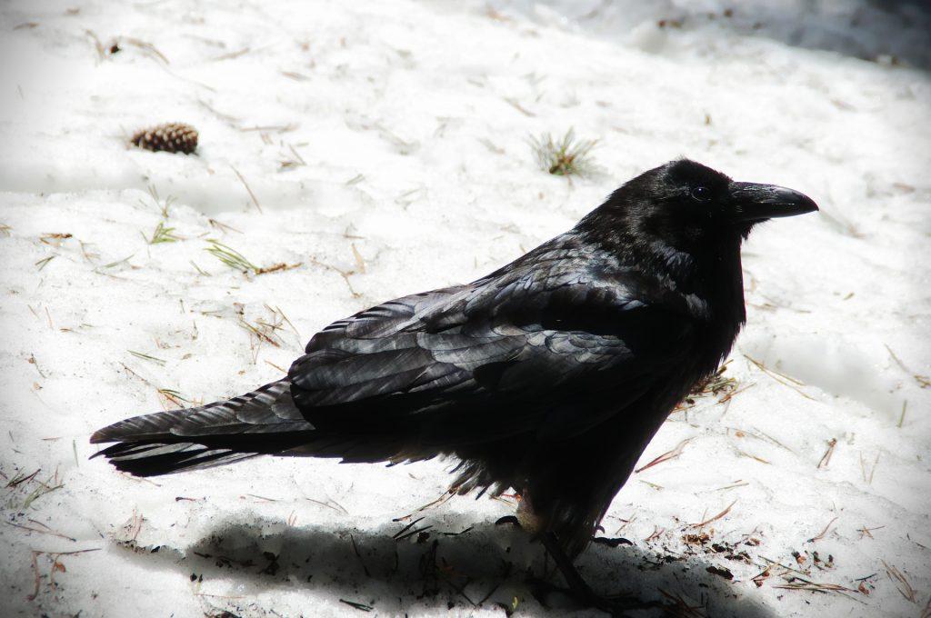 A Crow, A Golden Retriever, And A Rose-Breasted Grosbeak