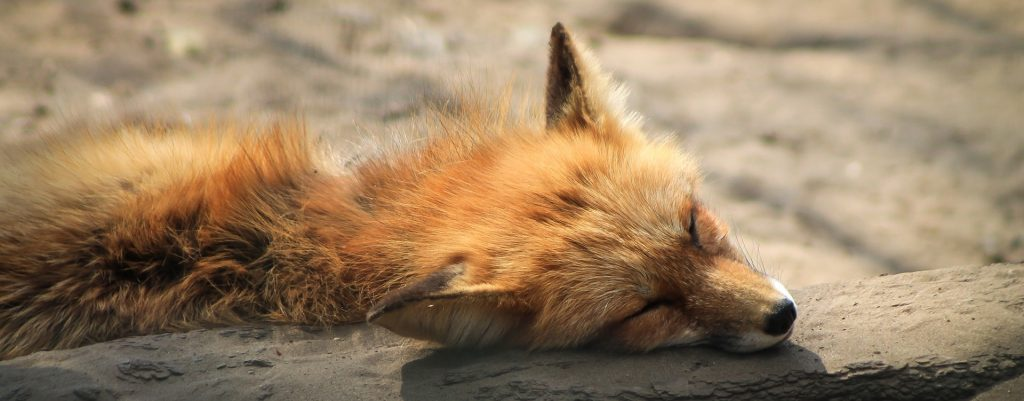 sleeping red fox