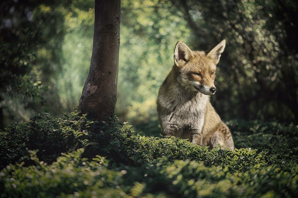 Red Fox sitting in the forest.