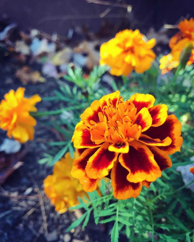 Marigolds in the author's garden, they're yellow edged with burgundy, bright green leaves.